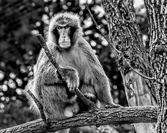 The Look (Wes Iversen) Tags: chicago hmbt illinois lincolnpark lincolnparkzoo monochromebokehthursday nikkor18300mm blackandwhite bokeh branches mammals monkeys monochrome trees zoos