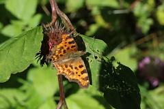 Polygonia c-album (Hugo von Schreck) Tags: polygoniacalbum hugovonschreck cfalter insect insekt outdoor butterfly falter schmetterling macro makro canoneos5dsr tamronsp90mmf28divcusdmacro11f017 onlythebestofnature