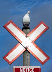 'On Notice' (Canadapt) Tags: gull seagull signpost x sign notice cross reflective humour whiterock bc canadapt
