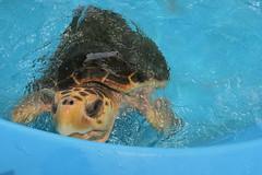 Emerald (susann.mesna) Tags: seaturtle turtle theturtlehospital florida marathon canong7x water