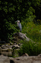Heron (BJMarshall) Tags: nepean ottawa ontario canada summer day river rocks heron great blue bird big large waiting sitting standing log pleased resting grass fish hunting
