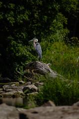 Heron (BJMarshall) Tags: nepean ottawa ontario canada summer day river rocks heron great blue bird big large waiting sitting standing log pleased resting grass fish hunting