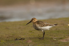 Dunlin (jon lees - moving) Tags: strangfordlough shorebird wader foreshore countydown northernireland newtownards dunlin