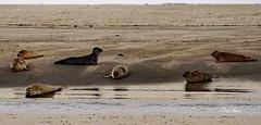 les phoques - seals - 3 (png nexus) Tags: nature animaux phoque seal plage beach