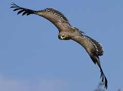 Arched Wings (ORIONSM) Tags: bird prey flying flight raptor blue sky nature pentaxk3 sigma150500