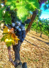 Almost ready for the upcoming harvest... (Eilis88) Tags: grapes oltrepo italy uva wine vineyards vigneti colline hills nature details light morning