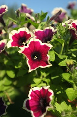 More Petunias (David S Wilson) Tags: davidswilson ely flowers fujifilmx100 2016 fens england flowersplants uk simplyflowers