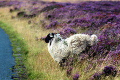 There's a car lets make a run for it. (Elizabeth Story) Tags: moorland heather road grass north yorkshire moors ewe sheep