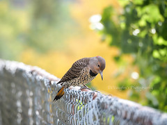 Some Autumn Behind Me (DeVaughnSquire) Tags: flicker woodpecker hiking nature autumn autumncolour wildlifebirds fall bridge outdoors urban yellow feathers colour color
