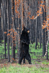 Scratch & Relief (Light N S) Tags: adorable animal bear blackbear blackbearcloseups canon5dmarkii cute mammal northof60 tamron150600spvc wildaminal wildblackbear wildlife woodbuffalonationalpark