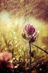 wet clover (imagine_reality) Tags: redclover clover flower rain sun sunny dof regen blume wiesenklee klee
