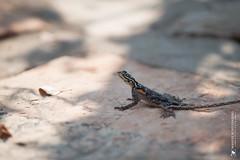 DSC_3638.JPG (manuel.schellenberg) Tags: namibia animal etosha nationalpark lizzard