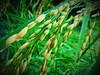 ⏺ Grain of life ⏺ (Leitratista) Tags: grain palay butil riceplant rice