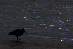 Midnight Wander (LucyKGraham) Tags: wader sea bird shadow night midnight beak sand beach solway estuary cumbria