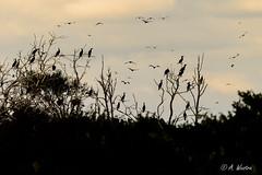 Cormorants (a3aanw) Tags: castricum roodpootvalk