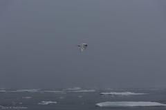 DSC_6489.jpg (Elvar H) Tags: arcticocean helmerhansen siarctic birds ice iceedge
