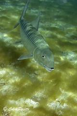 Bonefish (albula vulpes) (Colin Pacitti) Tags: bonefish albulavulpes fish underwater sand seaweed sea outdoor saintbrandon indianocean mauritius coth fantasticwildlife hennysanimals