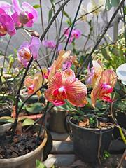 20161012_111526_HDR (Rodrigo Ribeiro) Tags: orchid orquidea jardim jardinagem garden gardening flor flores flower