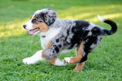 New friend! (Lionoche) Tags: pongo australian chien dynamic run dog hund sheperd auss aussie bergeraustralien