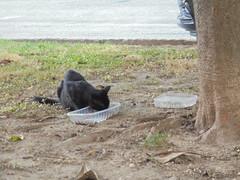 463 (en-ri) Tags: gatto randagio cat nero black miao sony sonysti cortile cibo food pappa