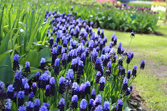 For Alan Titchmarsh (Foto-Aestheticus) Tags: titchmarsh nature naturephotography naturefotography outdo outdoor outsi outside flower flowers blossom blossoms violet purple plant alan canon canonphotography canononphotography sun sunlight sunshine keukenhof garden neatherlands park