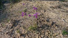 purple pea habit (John Tann) Tags: muluerindie warrabahnationalpark nsw australia september 2016 geo:country=australia