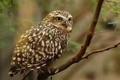 (Peertje.) Tags: owl owls burrowingowl bird birds birdofprey animal animals tree trees branch branches green bokeh nature naturephotography artis artiszoo nikon tamron