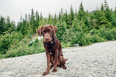 chase-roam-brohm-050716-ajbarlas-7443.jpg (A R D O R) Tags: ajbarlas ardorphotography chase dogs puppy roam