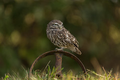 Little owl (Athene noctua) (Steven Whitehead) Tags: littleowl little owl birds birdofprey bird feeding feathers nature 2016 canon5dmk3 canon woods tree trees