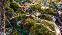 DSC_0806 (Adrian De Lisle) Tags: babysquirrel goldstream gowllandtodprovincialpark squirrel vancouverisland victoria westcoast wildlife langford britishcolumbia canada ca
