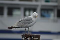 Look at me (n.intveen) Tags: seagull gull balticsea ostsee nikon nikond3200