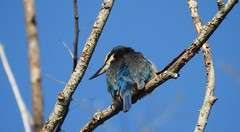Kingfisher (njohn209) Tags: p900 nikon nz birds