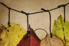 Feuilles (Leaves) (la posie des images) Tags: laposiedesimages macromondays inarow smallerthanyouthink oneaftertheother lunaprslautre pluspetitquevouspensez macro fallcolors lescouleursdautomne texture