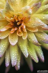 Cabana Banana (gvonwahlde) Tags: flower dahlia cabanabanana mn minnesota minnesotalandscapearboretum canon vonwahlde