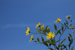 Tithonia diversifolia (Jim Mayes) Tags: canon eos digital 90mm macro tamron tamronspaf90mmf28dimacro