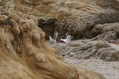 Git! (charlottes flowers) Tags: seagulls asilomarbeach montereycounty birds rockcave