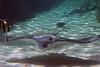 RAYS/SHARKS & SAWFISH (NTG1 pictures) Tags: sharks rays greynurseshark sicklefinlemonshark bluespottedmaskray fantailrays freshwatersawfish whitespottedeagleray sharkray bowmouthshark mud skate greyreefshark sea life sydney aquarium
