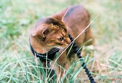 Lizzie on film (DizzieMizzieLizzie) Tags: abyssinian aby beautiful wonderful lizzie dizziemizzielizzie portrait cat chats feline gato gatto katt katze katzen kot meow mirrorless pisica film pentax me 50mm f17 fujicolor
