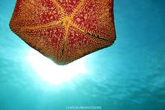 Cushion Sea Star (Aaron Lynton) Tags: lyntonproductions scuba diving snorkel underwater maui hawaii onebreath turtle honu hawaiiangreenseaturtle hawaiian greenseaturtle seaturtle canon g1x