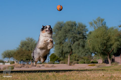 Firing on all cylinders (42/52) (Jasper's Human) Tags: 52weeksfordogs australianshepherd aussie fly chuckit jump run