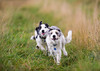 'Young Collie Racing Team' (Jonathan Casey) Tags: collie puppy puppies running young grass d810 nikon 200mm f2 vr