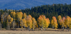 _DSC8360 (DianeBerky19) Tags: nikondf wy jacksonholewyoming trees aspen