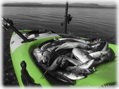 Such a perfect day (Nicolas Valentin) Tags: mackerel kayak kayakfishscotland catch