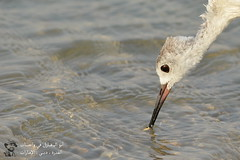 Black-winged Stilt @ Qudra Oasis, Dubai, UAE (Ma3eN) Tags: blackwinged stilt bird qudra oasis dubai uae 2016