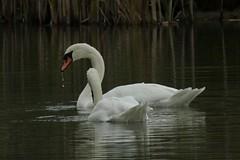 1342-17L (Lozarithm) Tags: calne lowlane lowercompton landscape pools hillspools swans nikon p900