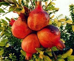 4 (verridrio) Tags: roms 4 quatro sony fruto granada  granat granatapfel pomegranate grenade  nar melagrana frutta meyve  obst natura outono fallen autumn spada cadere  caer naturaleza rom fun