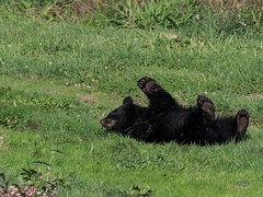 High Five! (T0nyJ0yce) Tags: blackbear cub babyanimals cute adorable bearpaw coy cuboftheyear wild animals wildlife bearcub bears ursusamericanus explore
