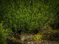 Farn (olipennell) Tags: botanischergarten mnchen nymphenburg pflanze