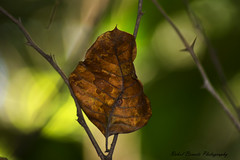 Every leaf speaks bliss to me, Fluttering from the autumn tree (rahulboraste) Tags: nature leaf leaves dry rahulborastephotography nikon india