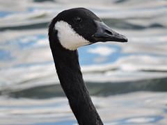 Canadian goose (deannewildsmith) Tags: canadiangoose bartonmarina goose bird earthnaturelife